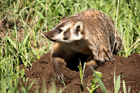Badger digging--6