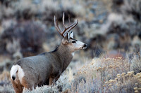 Mule Deer--South Fork Shoshone--November 2009-2974.jpg