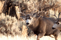 Mule Deer on South Fork--2009-2745.jpg