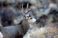 Mule Deer--South Fork Shoshone--November 2009-2976.jpg