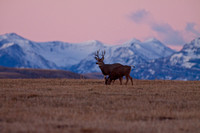 Mule Deer--South Fork Shoshone--November 2009-2885.jpg