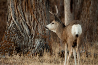 Mule Deer--South Fork Shoshone--November 2009-2919.jpg
