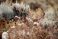 Mule Deer--South Fork Shoshone--November 2009-2949.jpg