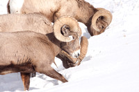 Yellowstone in Winter--2009-3272.jpg