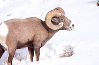 Yellowstone in Winter--2009-3293.jpg