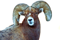 Bighorn Sheep Ram near Mammoth--Yellowstone Nat'l Park-