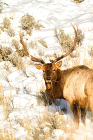 Yellowstone National Park--December 2012--21