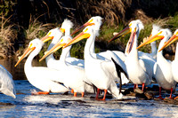 Pelicans on the Tongue River-6941